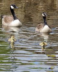 Goslings (LouisaHocking) Tags: merthyrtydfil merthyr cyfarthfa park lake gosling geese baby wild wildlife wildfowl nature