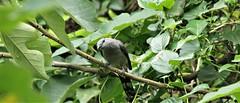 Black-winged cuckooshrike (khoitran1957) Tags: bird animal nature wallpaper wildlife 219 widescreen ultrawide
