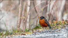 (c)WMH_2019_05_22_6504 American Robin (WesleyHowie) Tags: provincialpark wildlife thrush birds canada location americanrobin jerrylawrenceprovincialpark novascotia