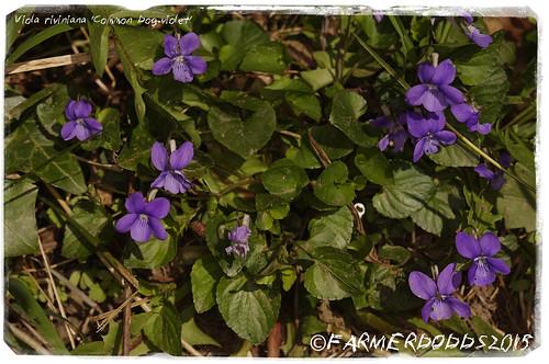 COCKEN WOOD: Viola riviniana 'Common Dog-violet'