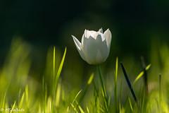 Wild White Beauty Pic #1 (SpyderMarley) Tags: bokeh grassblur movinggrass grass beautifullighting spotlit sunset whitepetals tulip flower
