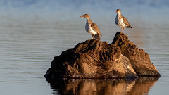 Spotted Sandpipers (Gary R Rogers) Tags: bird jacksonbottom pair perched spottedsandpiper oregon sandpiper