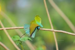 Just showing off ;) (theviewfinder) Tags: nikon d90 nikon300mmf4 beeeater midhun midhunthomas midhunjohnthomas birds birdphotography kerala