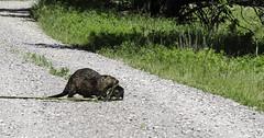 Beaver and Kit (J K German) Tags: beaver saltplains lake nature oklahoma water marsh duck reserve wildlife