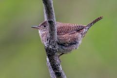 WinterWren (jmishefske) Tags: wehr wren wisconsin nikon winter park nature bird d500 center whitnall milwaukee 2019 franklin may