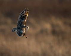 Short-eared Owl (Brian_Harris_Photography) Tags: short eared owl grasslands brown black yellow sunset evening hiking pennsylvania portrait nikon nikkor nature raptor outdoors sunlight wildlife white spring