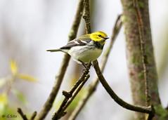 Black Throated Green (Swift Wings) Tags: bird songbird warbler pelee migration blackthroatedgreen nature wildlife setophagavirens