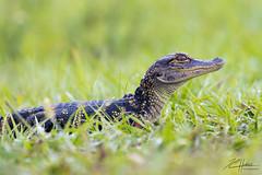 Baby Gator (LASCAR35) Tags: 100400isiil alligatordamérique americanalligator sharkvalley 80d canon everglades bird birding dlsr jeune miami young