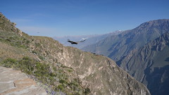 The arrival of the condors (Chemose) Tags: condor canyonducolca colcacanyon condorcross croixducondor oiseau bird duo montagne mountain canyon landscape paysage andes andeanpérou peru sony ilce7m2 alpha7ii avril april