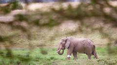 Well-hidden elephant (Nagarjun) Tags: amboselinationalpark kenya africa elephant safari wildlife herbivore vegetarian