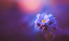 Forget Me Not (Dhina A) Tags: sony a7rii ilce7rm2 a7r2 a7r asahi pentax autotakumar 35 23 35mm f23 takumar35mmf23 prime m42 10blades bokeh sharp forget me not flower myosotis
