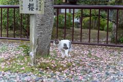 DSC03355 (HouRouNeko) Tags: 成田市 千葉縣 日本