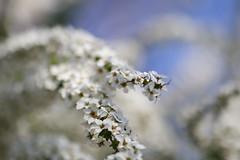 thunberg's meadowsweet (Christine_S.) Tags: flower macro closeup bokeh japan spring white nature outdoor bluesky canon eos m5 mirrorless ef100mm ngc npc