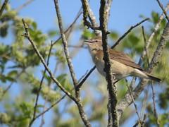 Chiffchaff, Willow or Garden Warbler? (blue33hibiscus) Tags: bird songbird hamwall naturereserve somerset