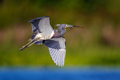 Tri Colored Nest Collector... (DTT67) Tags: tricoloredheron florida 500mmii 1dxmkii canon1dxmkii canon nesting flight birdinflight bif bird nature wildlife