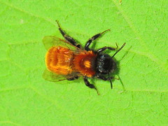 Tawny Mining Bee (sam2cents) Tags: nature wildlife wicklow ireland bee solitary tawnyminingbee andrenafulva insect pollinator