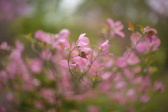 Blush... (KissThePixel) Tags: pink pinkflowers pinkpetals petals blush bashful blossom blossomtree tree foliage flora green garden beautiful beautifulday beauty bokeh bokehlicious light art fineart nikon nikondf nature spring may monthofmay 50mm f12 12 nikkor