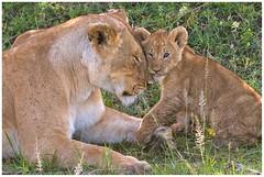 Mama leeuw met haar welpje .... (Martha de Jong-Lantink) Tags: 2011 janvermeer kenia kenya leeuw leeuwen maasaimara safari africa afrika lion cub