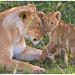 Mama leeuw met haar welpje ....