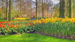Keukenhof Gardens, Daffodils flowering, Netherlands - (HereIsTom) Tags: webshots travel europe netherlands holland dutch view nederland views you nature sun tourists cycle vakantie fietsvakantie cycling holiday bike bicycle fietsen plus apple ios camera iphone 8 green tuin narcissen bloemen 9 grass keukenhof trees flowers gardens tulips tulpen april 2019 yellow daffodils season bloom red flowering world famous spring power