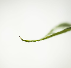 MacroMondays-6May19-FourElements-water (+Pattycake+) Tags: basil tipofbasilleaf macro macromondays colours ©patriciawilden2019 water leaf achromaticlens eos70d waterdroplets greenbacklit fourelements herb