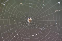 Macro Monday - Tiny Spider (Croydon Clicker) Tags: macro monday macromonday closeup garden sigma105mm nikond5500 spider mite miniscule tiny microscopic nature
