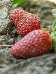 Strawberrys colour (akatsoulis) Tags: apsc macro closeup red nikkor50mm14g nikkor nikonuk nikoneurope spring fruit bokeh d5300 xanthi nikon greece strawberries strawberryplant
