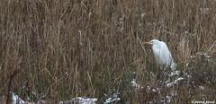 Grande aigrette (fr) - Ardea alba (Linnaeus, 1758) - Silberreiher (de) - Great egret (en) (patrick68110) Tags: aigrette oiseau échassier