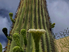 Fountain of Sorrow (oybay©) Tags: cactusflowers cactus flowers flora flores fleur fiori blumen macro bluesky sky blue fly bug color colors nature natural saguaro saguaroflowers flower