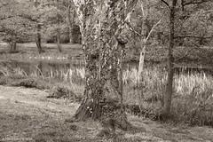Am Tabaksmühlenweiher (patric.gangler) Tags: tabaksmühlenweiher saarbrücken naturfotografie naturephotography blackandwhitephotography schwarzweisfotografie monochromephotography sepia rotfilter bandw nikonfotografie nikonphotography nikonphotographers systemkamera nikon1system 1nikkorvr10100mmf4056 nikon1j3 saarlandfotos saarlandpics saarland germany landscape landschaft