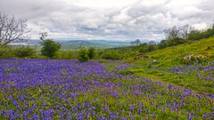 Blanket of Bluebells atop Warton Cragg, Carnforth. (peterileypics) Tags: bluebells flowers hill mountain cragg cliff lake sea landscape scenery