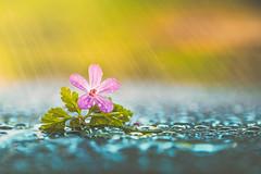 No rain no flowers (Ro Cafe) Tags: fourelements mm macro macromondays softfocus drops pink water flower wild geranium nikkor105mmf28 sonya7iii