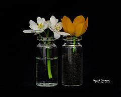 Water and Earth (Inky-NL) Tags: macromondays fourelements water earth soil flower flowers bottle blackbackground