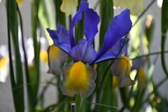 DSC_8739 (griecocathy) Tags: macro fleur iris feuille bleu jaune vert gris