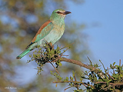 European Roller Coracias garrulus (nik.borrow) Tags: bird roller ndutu