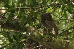 Screech Owls (blackhawkwjp) Tags: avian wildlife birds owls screech olws