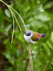 190311-132718_DC-G9_P1073370 (Nick Spix) Tags: wildlife animal vertebrate bird waxbill sweewaxbill capetown westerncape southafrica