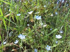 Baby Blue Eyes (Boraginaceae, Nemophila menziesii) (aking1) Tags: babyblueeyes blue boraginaceae nemophilamenziesii julian california unitedstatesofamerica
