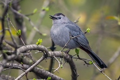 BlackCapCat (jmishefske) Tags: wehr d850 nikon catbird bird nature wisconsin park center whitnall milwaukee may franklin 2019