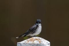 ashleyreservoir2019-54 (gtxjimmy) Tags: nikond7500 nikon d7500 tamron 150600mm ashleyreservoir holyoke massachusetts spring newengland bird easternkingbird