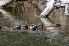 ashleyreservoir2019-52 (gtxjimmy) Tags: nikond7500 nikon d7500 tamron 150600mm ashleyreservoir holyoke massachusetts spring newengland bird turtle paintedturtle