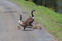 ashleyreservoir2019-30 (gtxjimmy) Tags: nikond7500 nikon d7500 tamron 150600mm ashleyreservoir holyoke massachusetts spring newengland bird goose goslings canadagoose