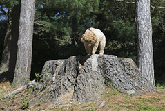 8541 (Jean Arf) Tags: dusty poodle dog miniaturepoodle spring 2019 rochester highlandpark tree stump