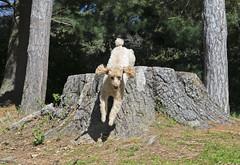 8542 (Jean Arf) Tags: dusty poodle dog miniaturepoodle spring 2019 rochester highlandpark tree stump jump motion