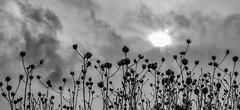 Sun, Clouds and Dried Wildflowers (FotoGrazio) Tags: driedflowers lowangle composition lovely phototoart travelphotography nature flower fotograzio highcontrast flowers creative contrast photoeffect clouds silhouette sun waynesgrazio mothernature waynestevengrazio beautiful waynegrazio dreamy scenic botanical sky storm bw blackandwhite photomanipulation monochrome