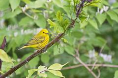 yellow warbler ( explore ) (G_Anderson) Tags: warbler illinois songbird birding