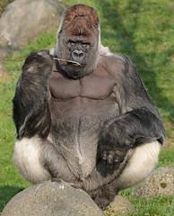 western lowlandgorilla Bokito Blijdorp 094A0001 (j.a.kok) Tags: animal africa afrika ape aap mammal monkey mensaap primate primaat zoogdier dier gorilla westelijkelaaglandgorilla westernlowlandgorilla lowlandgorilla laaglandgorilla zilverrug silverback bokito blijdorp