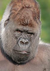 western lowlandgorilla Bokito Blijdorp 094A0022 (j.a.kok) Tags: animal africa afrika ape aap mammal monkey mensaap primate primaat zoogdier dier gorilla westelijkelaaglandgorilla westernlowlandgorilla lowlandgorilla laaglandgorilla zilverrug silverback bokito blijdorp