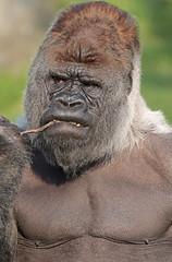 western lowlandgorilla Bokito Blijdorp 094A0005 (j.a.kok) Tags: animal africa afrika ape aap mammal monkey mensaap primate primaat zoogdier dier gorilla westelijkelaaglandgorilla westernlowlandgorilla lowlandgorilla laaglandgorilla zilverrug silverback bokito blijdorp