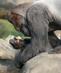 western lowlandgorilla Bokito Blijdorp 094A0165 (j.a.kok) Tags: animal africa afrika ape aap mammal monkey mensaap primate primaat zoogdier dier gorilla westelijkelaaglandgorilla westernlowlandgorilla lowlandgorilla laaglandgorilla zilverrug silverback bokito blijdorp